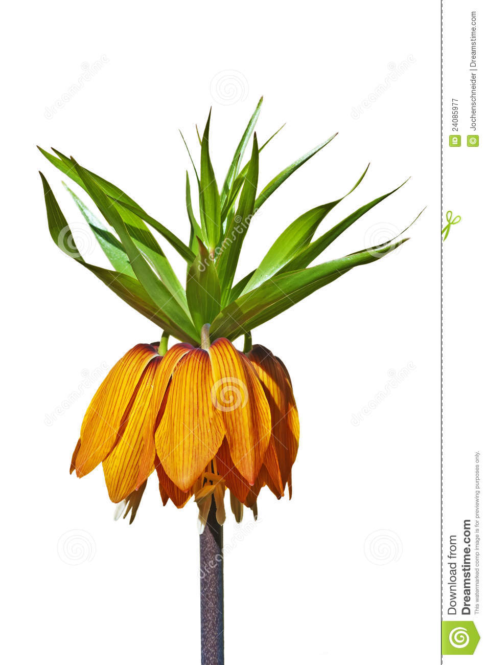 Crown Imperial, Fritillaria Imperialis Royalty Free Stock.