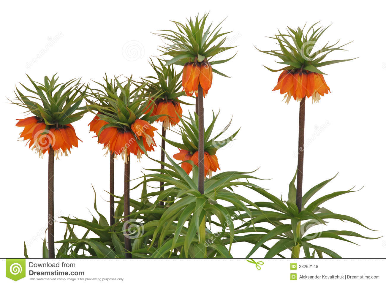 Crown Imperials (Fritillaria Imperialis) Stock Photo.