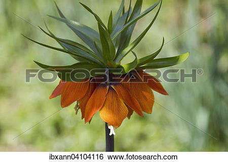 Stock Images of Crown imperial (Fritillaria imperialis.