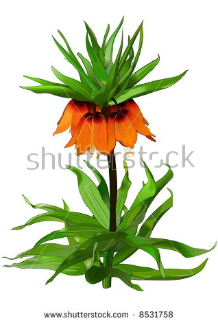 Fritillaria Imperialis Stock Vectors & Vector Clip Art.