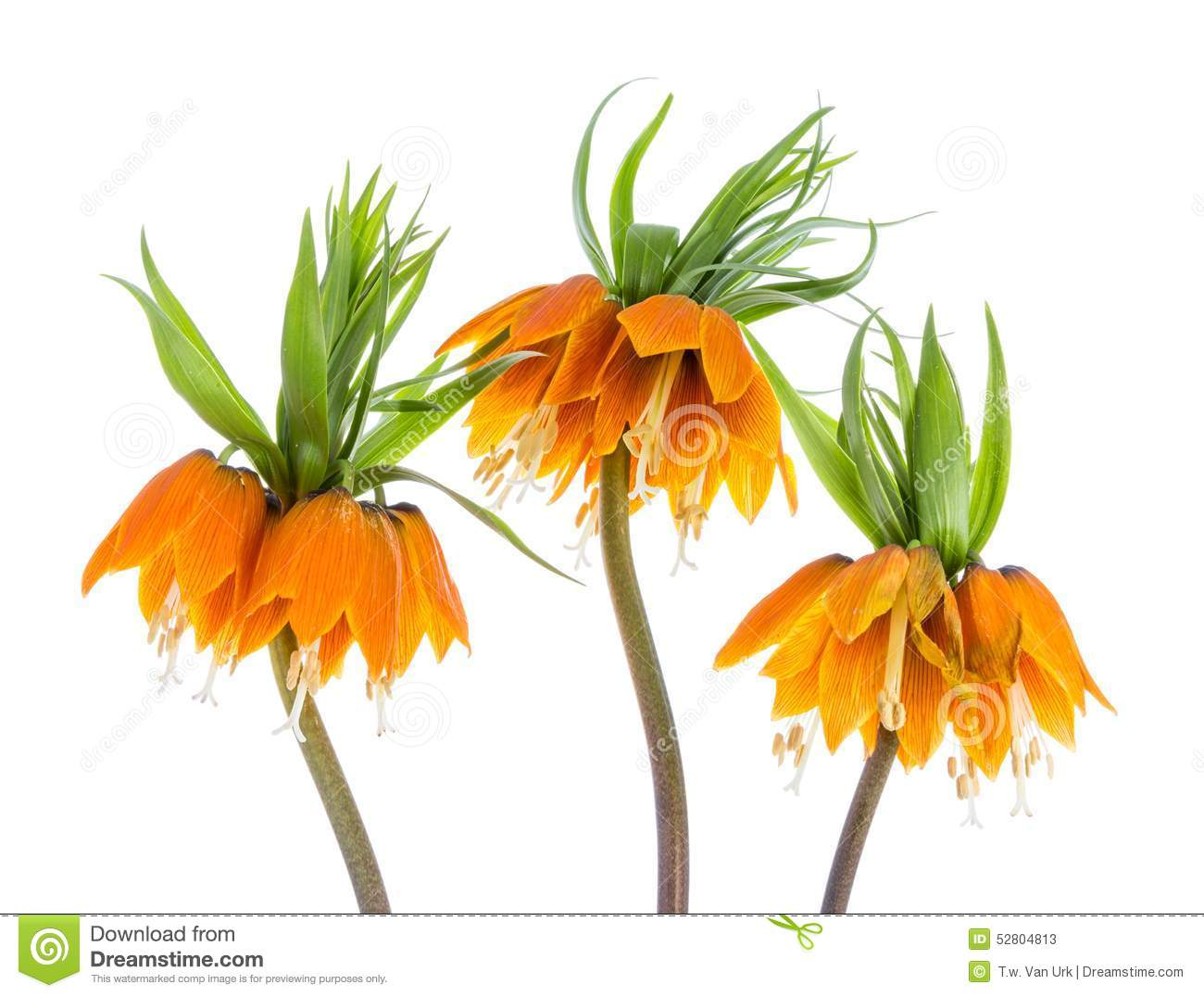 Three Imperial Crown (Fritillaria Imperialis) Isolated On White.