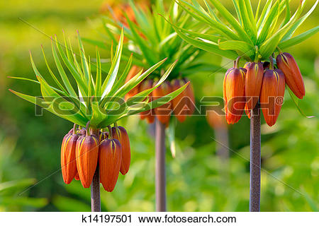 Stock Photography of Crown imperial flowers (Fritillaria.