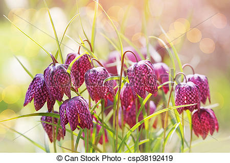 Stock Photography of Early spring flower background (Fritillaria.