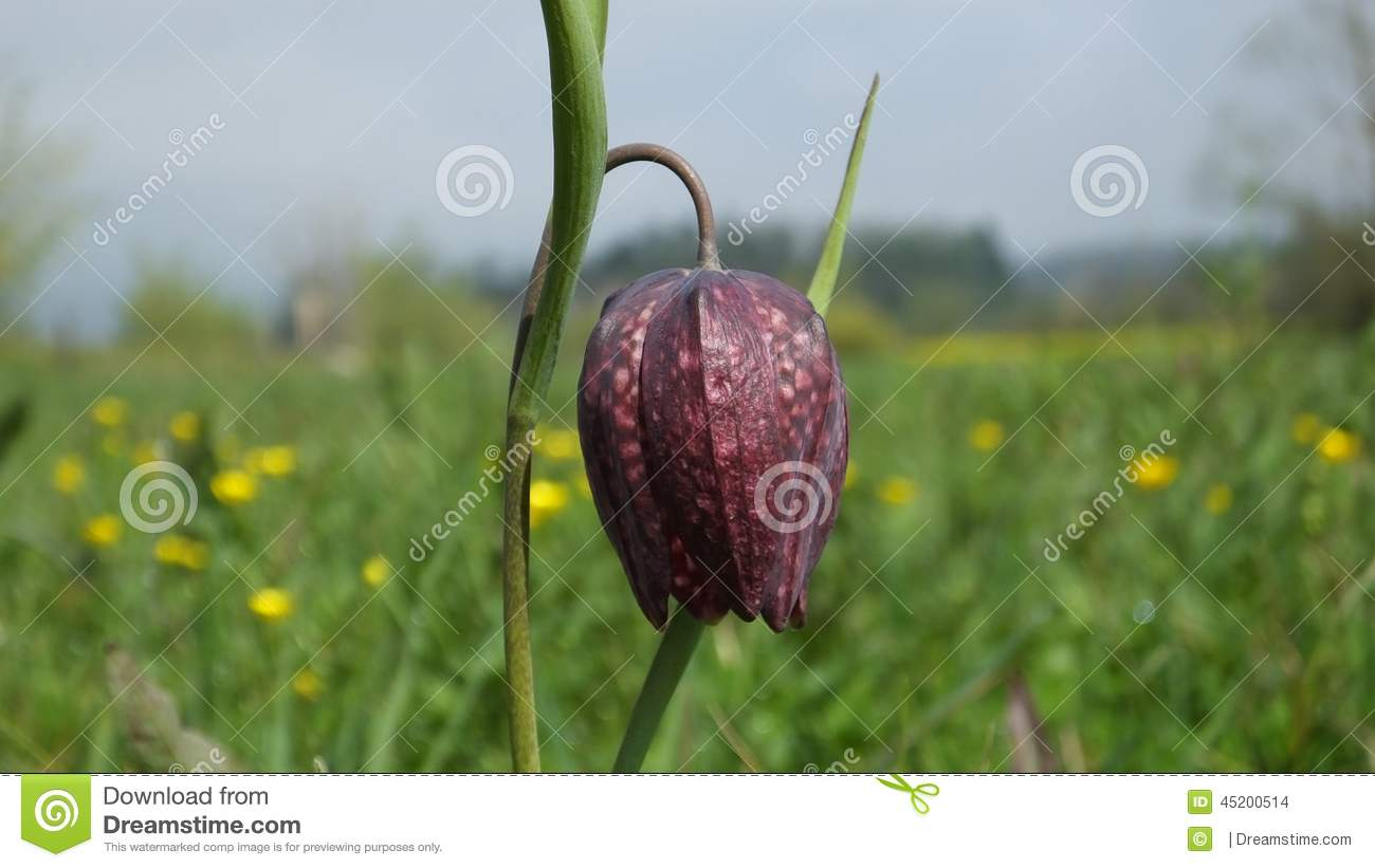 Fritillaria Meleagris Royalty Free Stock Photography.