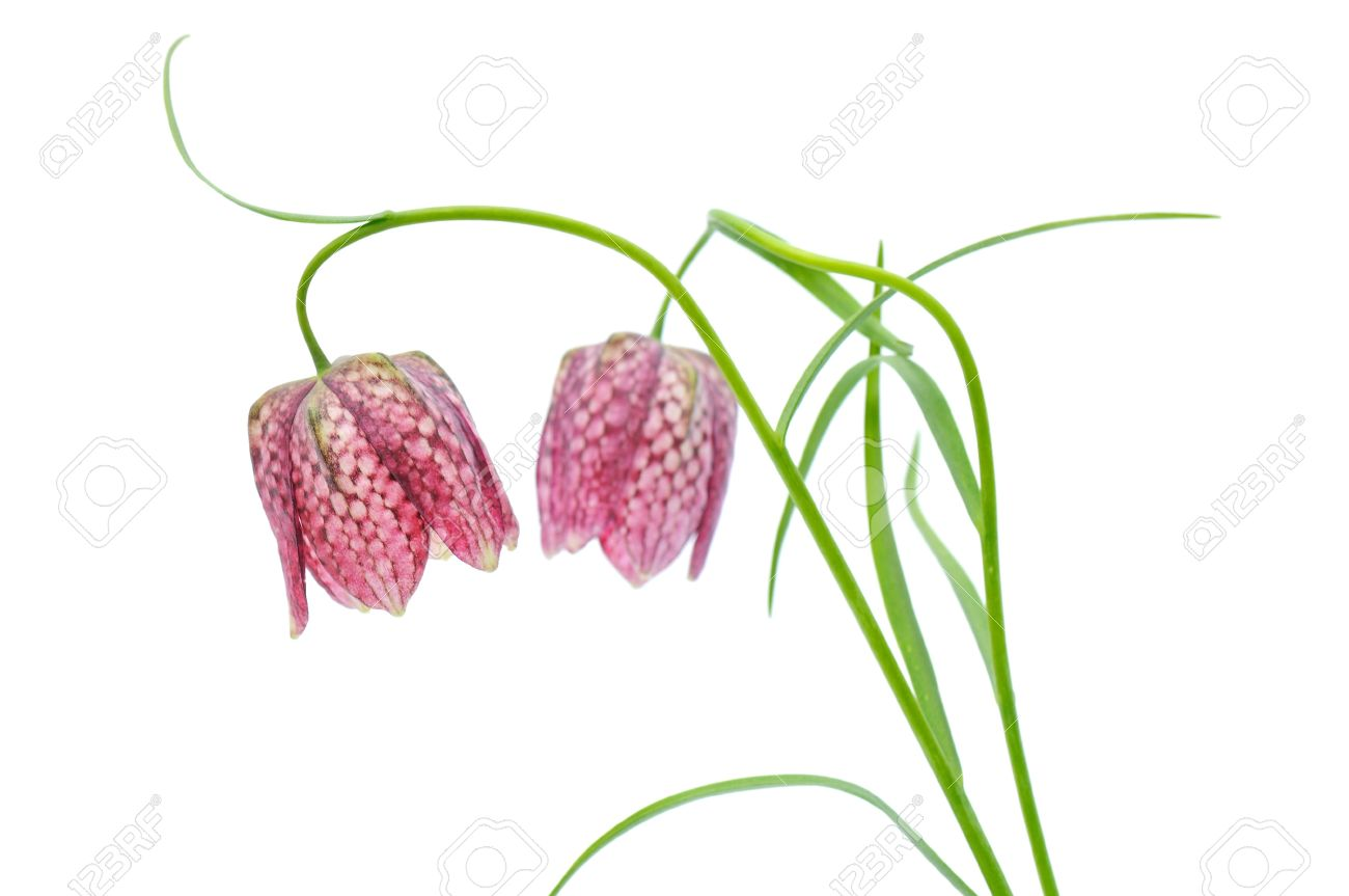 Fritillaria Meleagris, Or Snake Head Fritillary, Chess Flower.