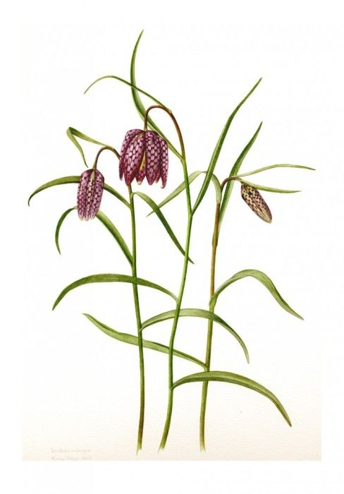 1000+ images about Fritillaria on Pinterest.