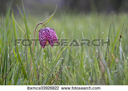 "Stock Photo of ""Snake's Head Fritillary or Chess Flower."