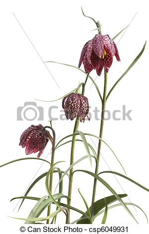 Stock Photography of Flowers of the Fritillaria meleagris.
