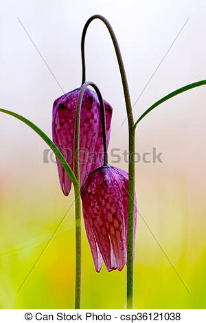 Stock Photos of Endangered wild Chess Flower (Fritillaria.