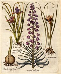 Lilium Persicum.