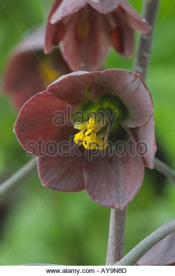 Fritillarias Stock Photos & Fritillarias Stock Images.