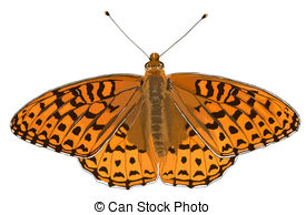 Fritillary Stock Illustrations. 18 Fritillary clip art images and.