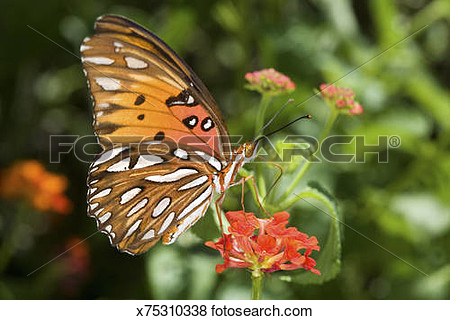Gulf frittilary butterfly clipart.
