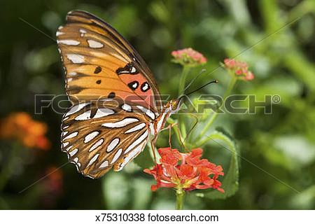 Gulf frittilary butterfly clipart.