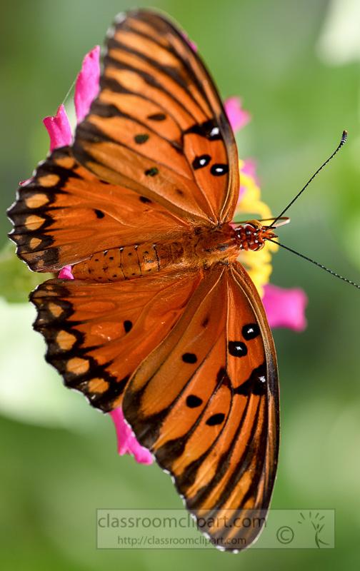 Gulf fritillary butterfly clipart.