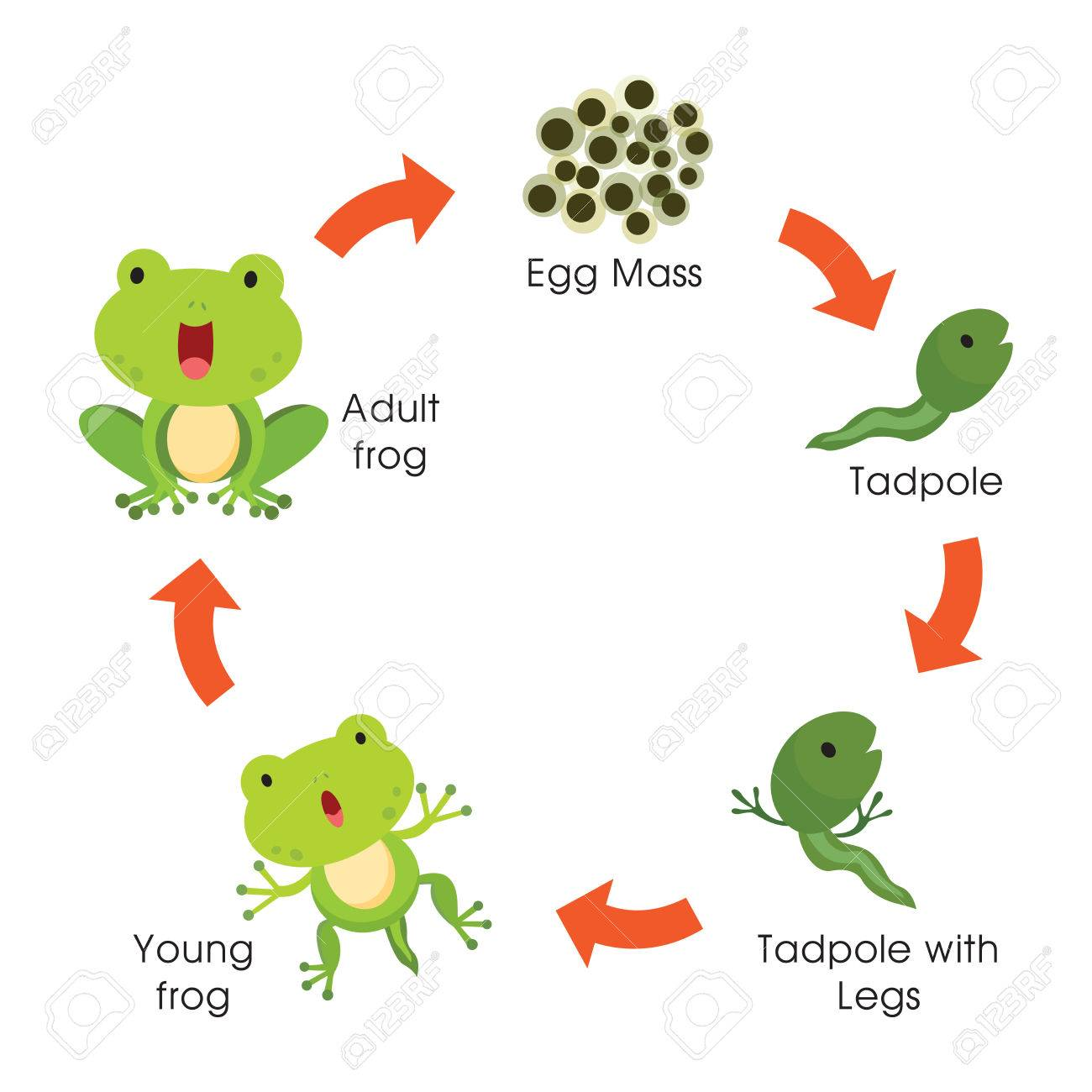 Life cycle of a frog. Vector illustration..