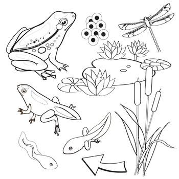 Frog Life Cycle Clip Art.