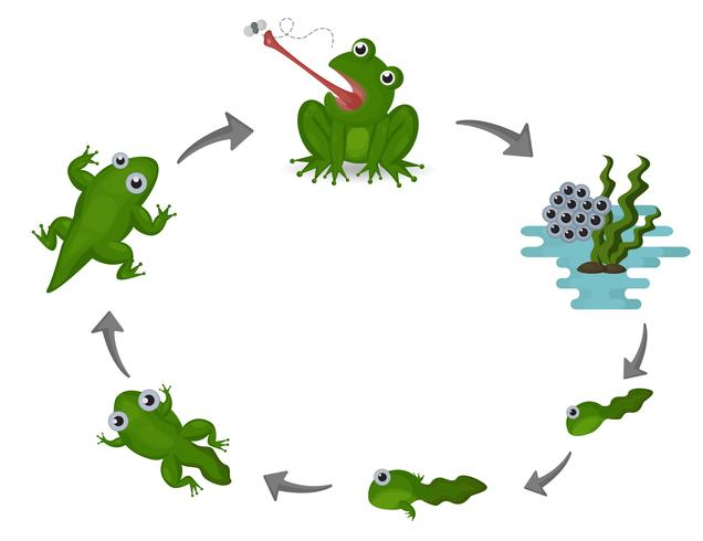 Life cycle of frog.