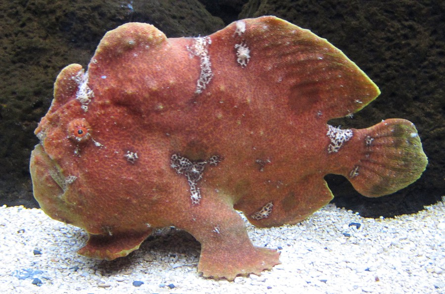 Commersons frogfish Antennarius commerson.