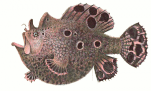 Frogfish Clip Art Download.