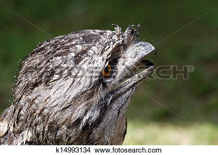 Stock Photo of Australian Tawny Frogmouth bird k14993134.