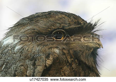 Stock Image of Tawny Frogmouth u17427035.