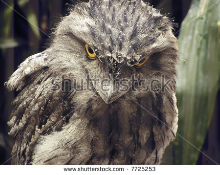 Tawny Frogmouth Owl Stock Photos, Royalty.