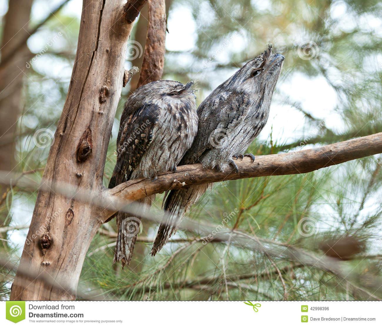 Australian Tawny Frogmouth Bird Birds Stock Photo.