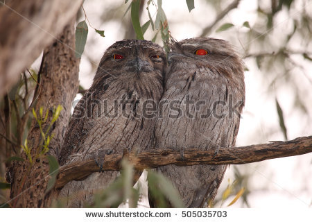 Frogmouths Stock Photos, Royalty.