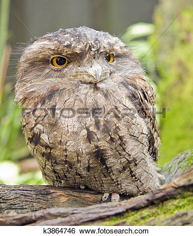 Stock Images of Tawny frog mouth k3864746.