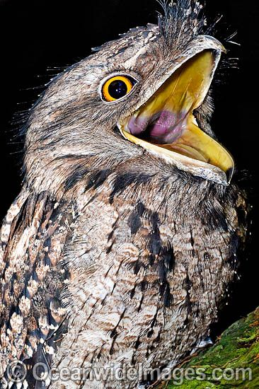 1000+ images about Potoo and Whip Poor Will on Pinterest.