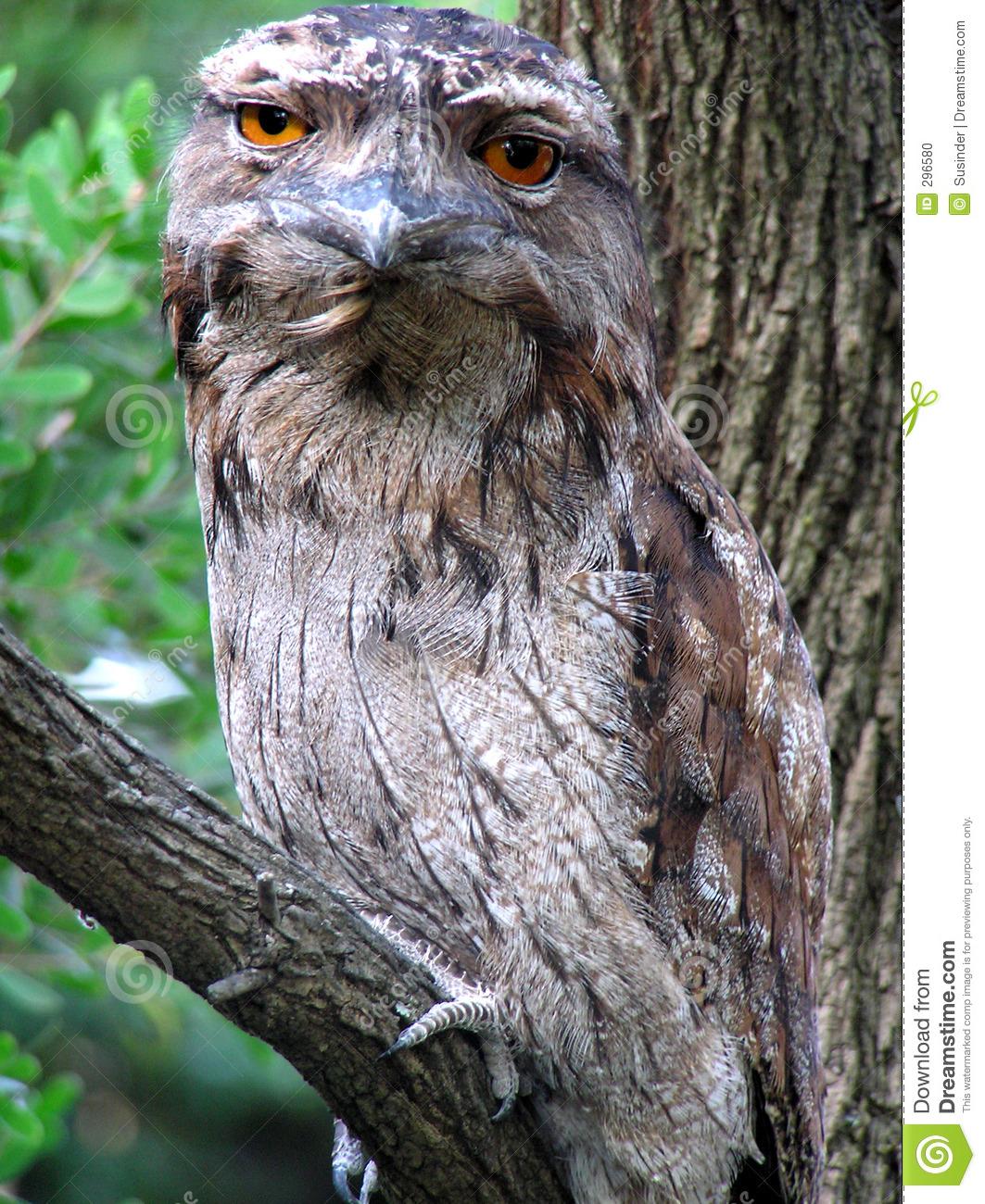 Tawny Frogmouth Owl Stock Photo.