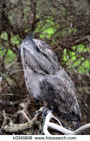 Pictures of Tawny frog mouth owl k0345848.