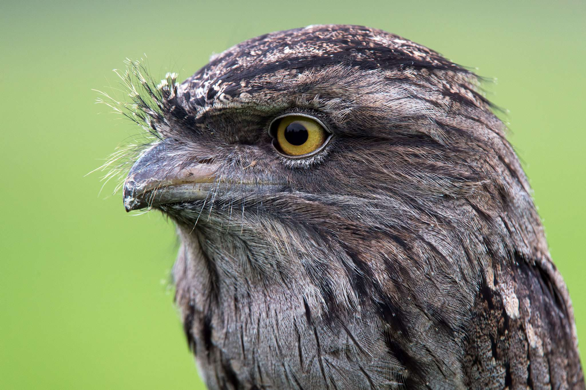 Tawny Frogmouth Diet, Habitat & Reproduction.