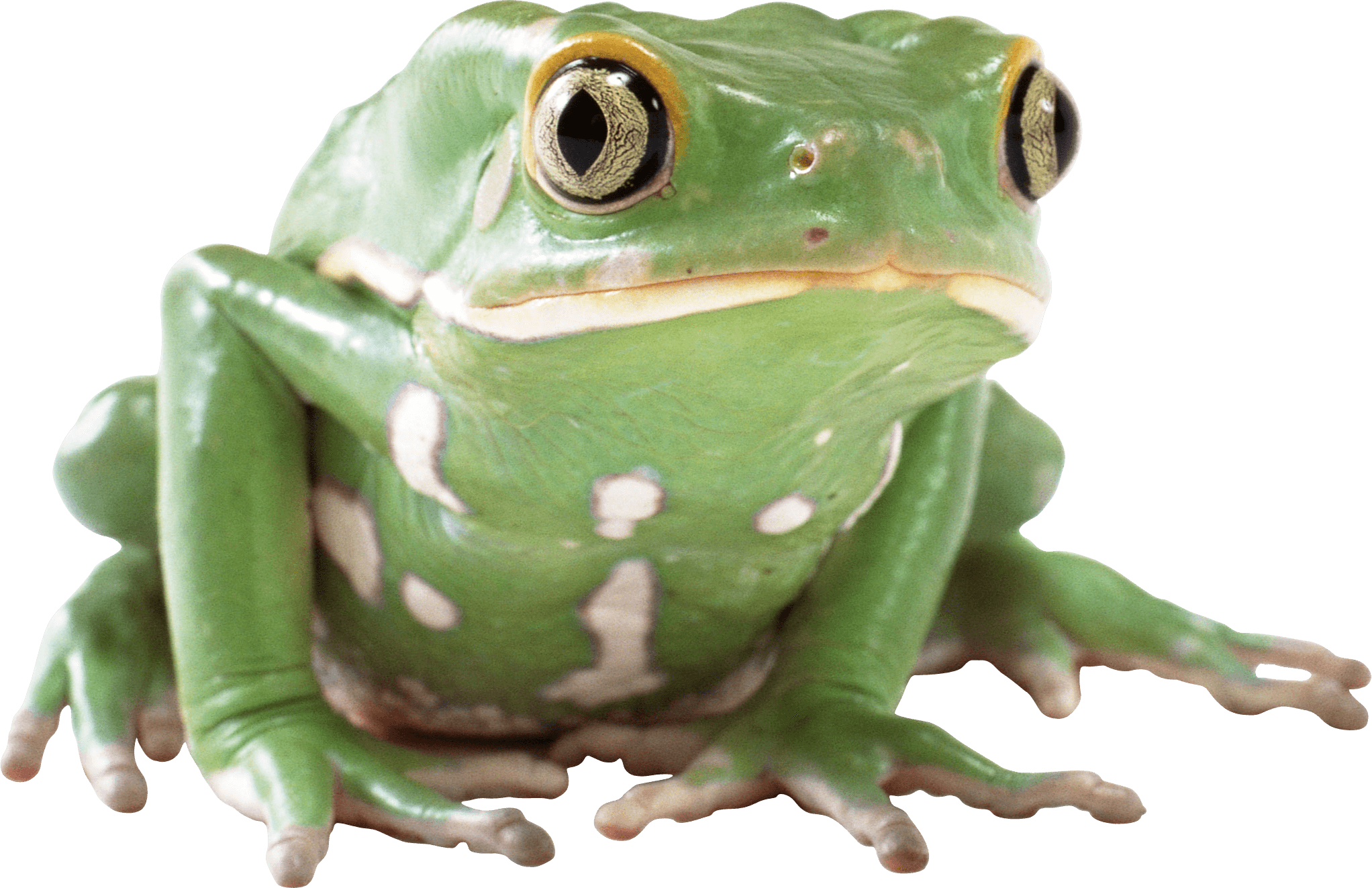 Green Frog transparent PNG.