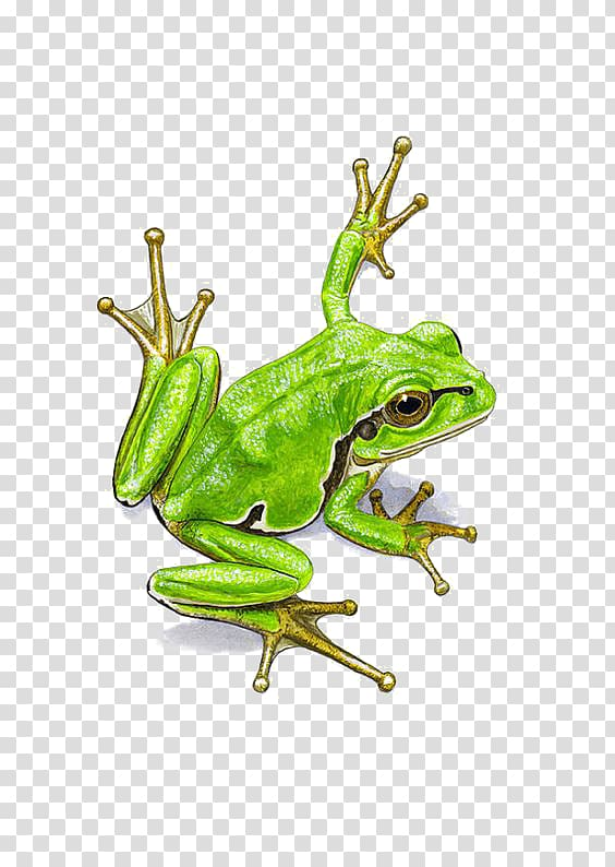 Green frog illustration, frog Watercolor painting, Watercolor frogs.