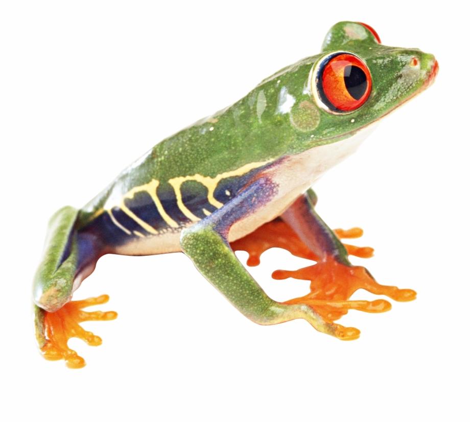 Frog Png Image.