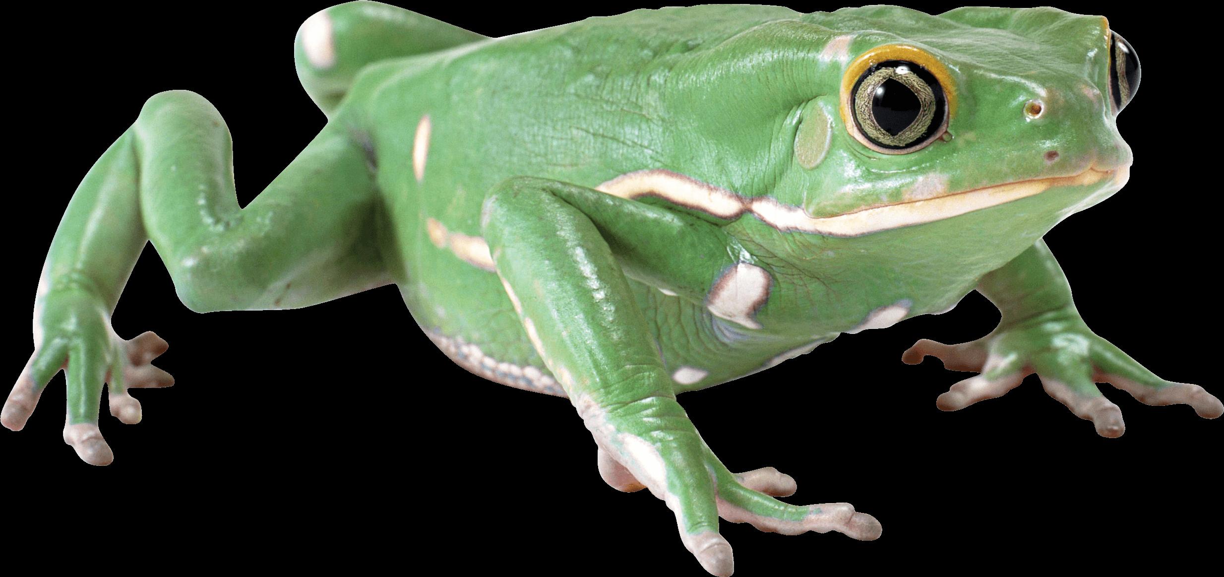 Almost Flat Frog transparent PNG.
