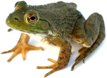 Frog PNG Transparent Images.