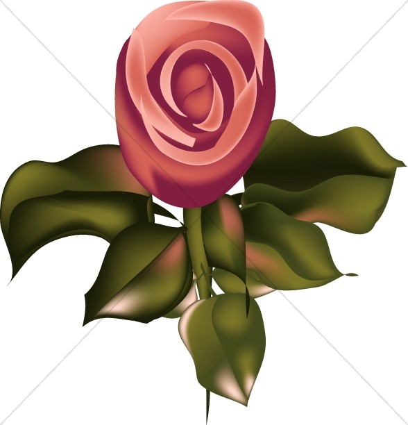 Pink Rose from Above.