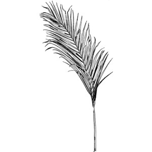 Areca Palm Frond Clipart.