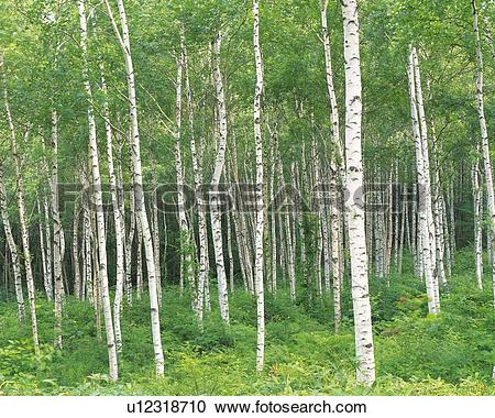 Stock Photography of White Birch in the Woods, Front View, Pan.