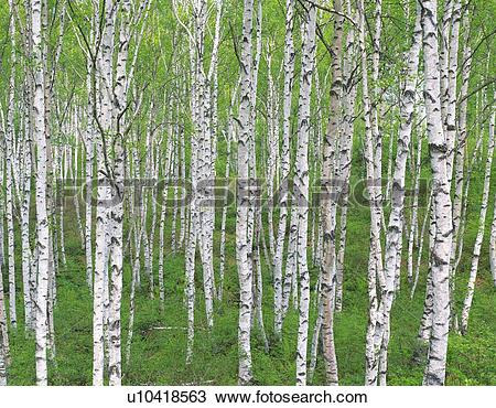 Stock Photo of White Birch in the Woods, Front View, Pan Focus.