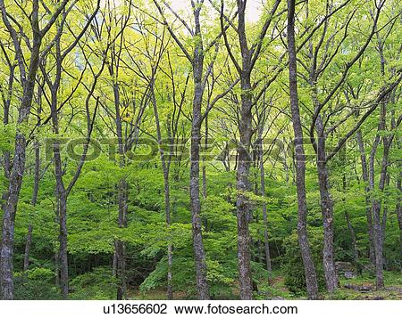 Stock Photo of Trees in the Woods, Front View, Pan Focus u13656602.