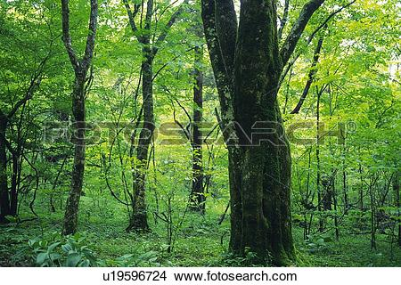 Stock Photo of Trees in the Woods, Front View, Pan Focus u19596724.
