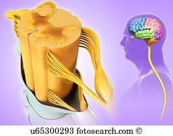 Frontal lobe Stock Photo Images. 498 frontal lobe royalty free.