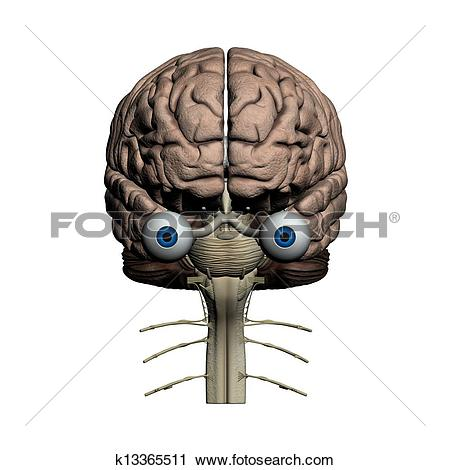 Clipart of Human brain frontal view k13365511.