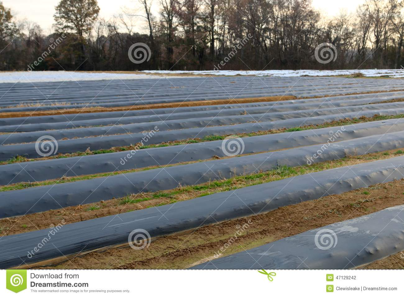 Crops In A Field Covered For Protection From Frost. Stock Photo.