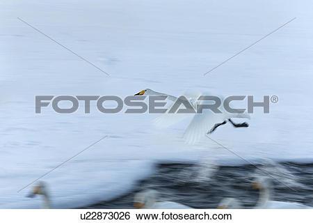 Stock Images of Single Whooper swan in flight over snowy frozen.