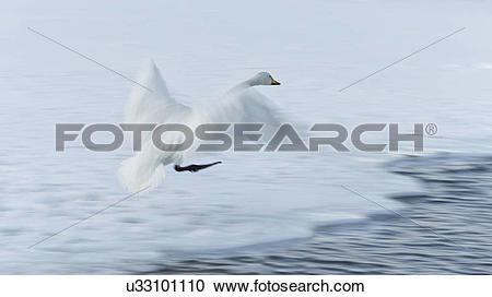 Stock Photography of Single Whooper swan in flight over snowy.